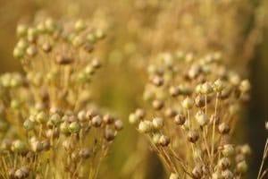 Planta de linaza