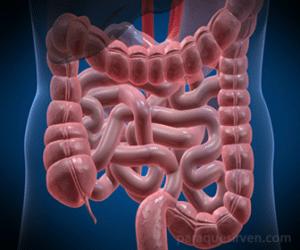 Vista de los intestinos dentro del cuerpo