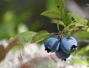 es una extraña fruta de color azul y es de origen americano.