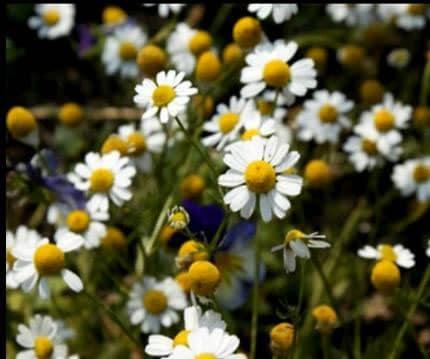 Las flores de manzanilla