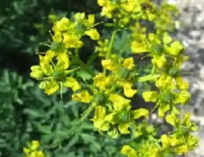 Planta medicinal de la medicina tradicional