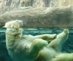 Oso polar sumergido en el agua