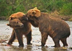 Par de osos jugando