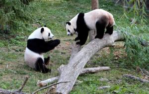 Dos osos panda en un tronco